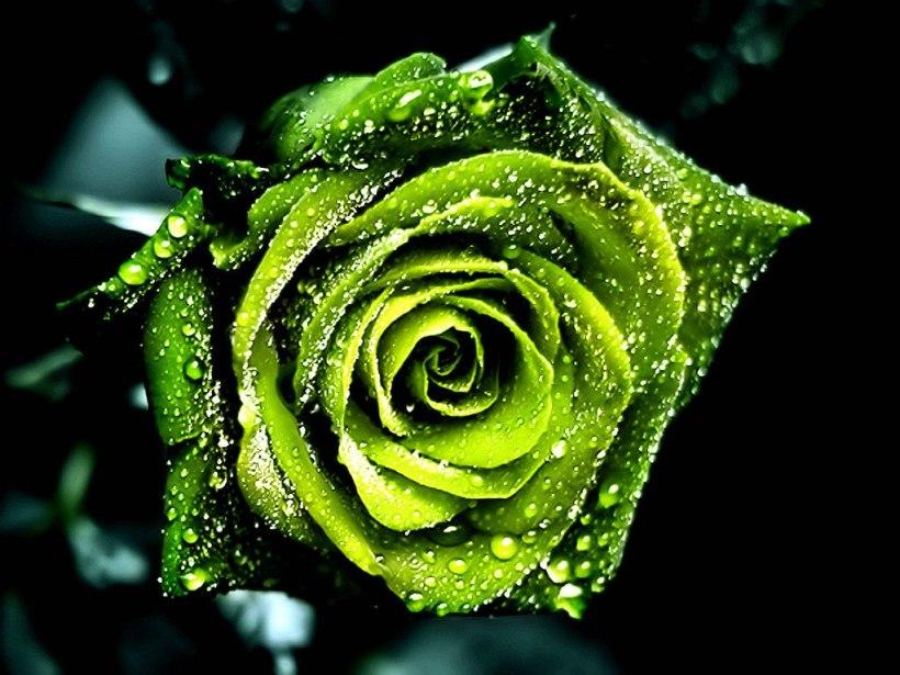 90-sementes-rosas-exoticas-kit-1-frete-gratis-brinde-8564-MLB20005530465_112013-F