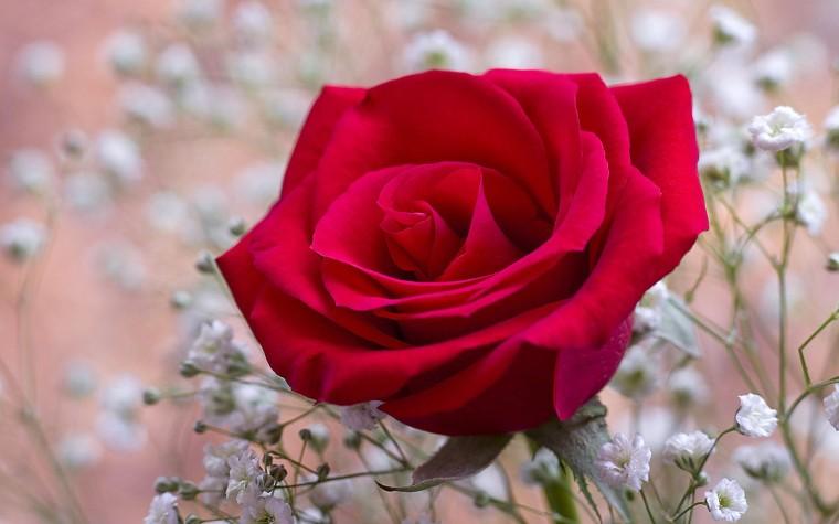 Imagens-de-Flores-Rosas