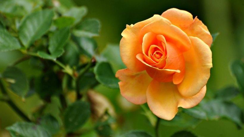 rosas-laranja