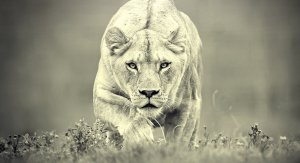 253654__hunting-lioness_p