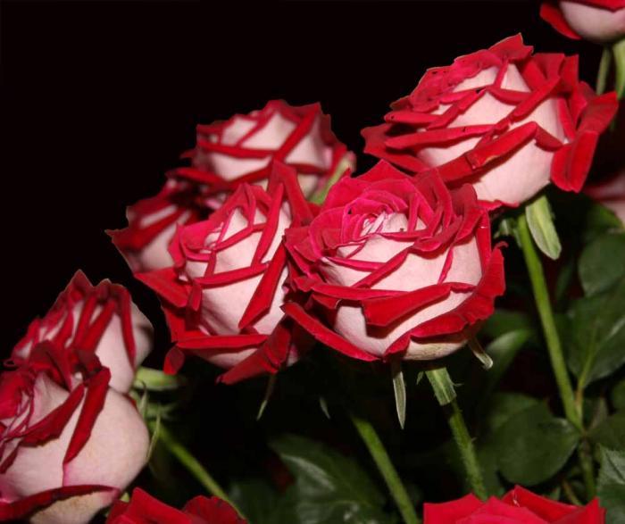 rosas-dicas-de-cultivo-da-no-figueiredo-14