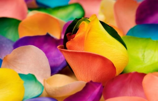 406384__colourful-rose-petals_p
